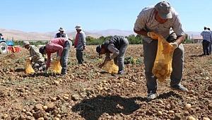İlk yerli ve milli, renkli patates hasat edildi!