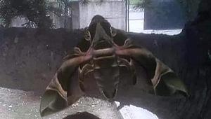 Mekik kelebeği Gebze'de görüntülendi