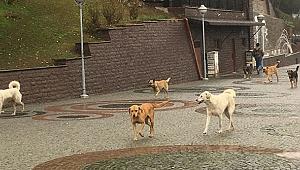 İzmit'te başı boş köpekler korku yaratıyor