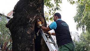 Asırlık ağaçların tedavisi sürüyor