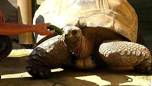 Türkiye'nin en yaşlı kaplumbağası 'tuki'