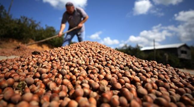 Kocaeli'de kaç ton fındık üretiliyor?