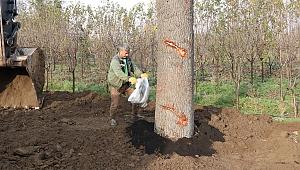 Toros Sedir ağaçları, üretim fidanlığına dikildi