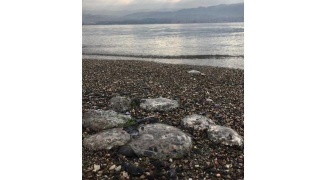 İzmit Körfezi'nde deniz anası istilası