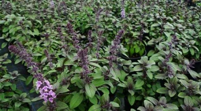 Kocaeli tıbbi aromatik bitkilerin merkezi olacak!