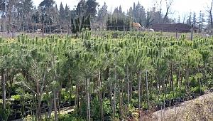 Üretim fidanlığında yetişiyor, Kocaeli'yi yeşillendiriyor